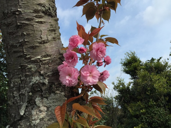 桜は散ってしまいましたが・・・
