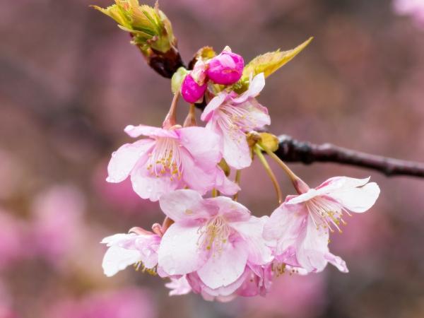 河津桜が咲き始めました。